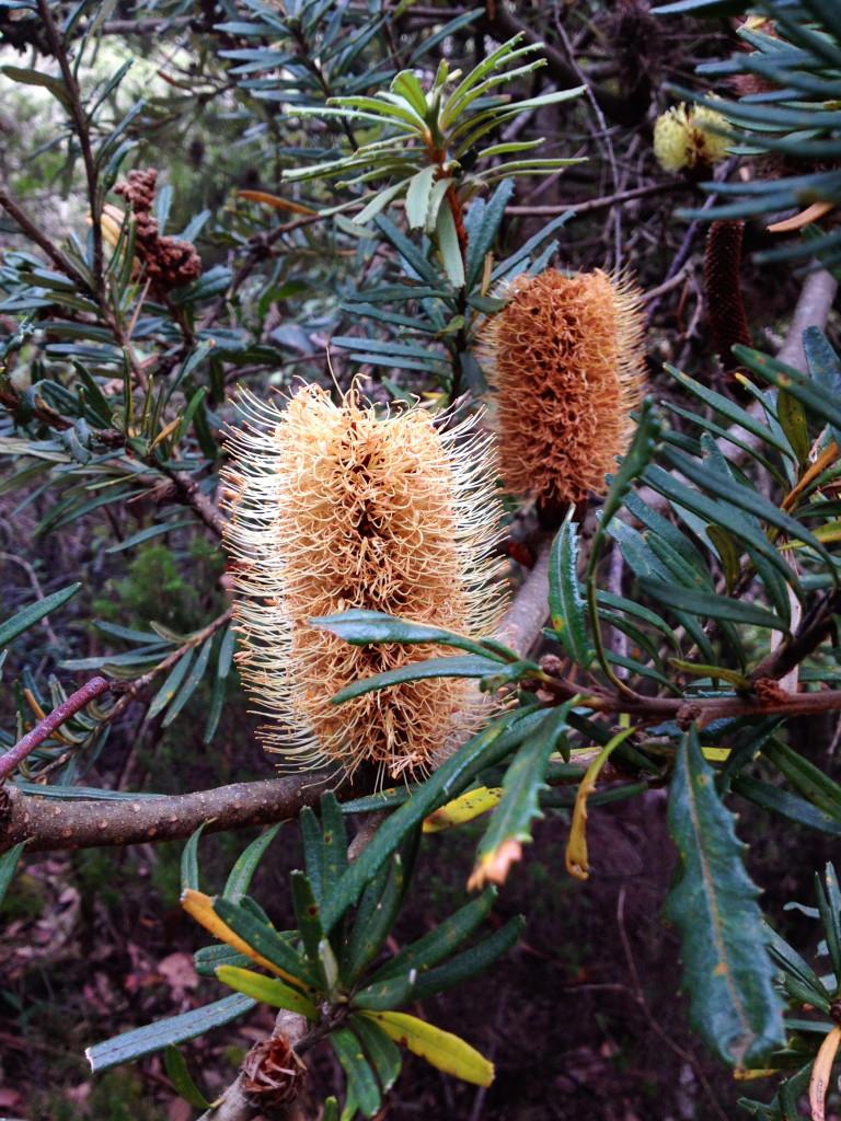 Old man Banksia